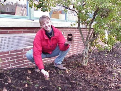 Planting bulbs in the renovated planting bed.
