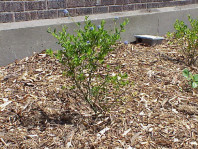 A newly installed Ceanothus sp.