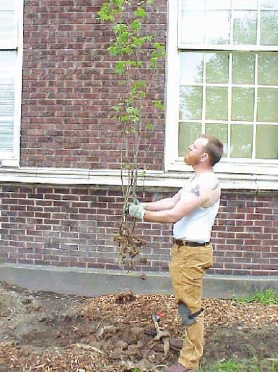 Inspecting a vine maple prior to installation; only dead, diseased, or damaged roots and shoots were removed at this time.