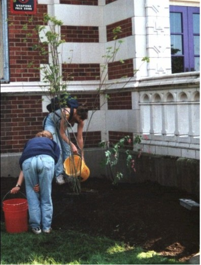 Aftercare of newly installed Acer circinatum (May 20, 1999).