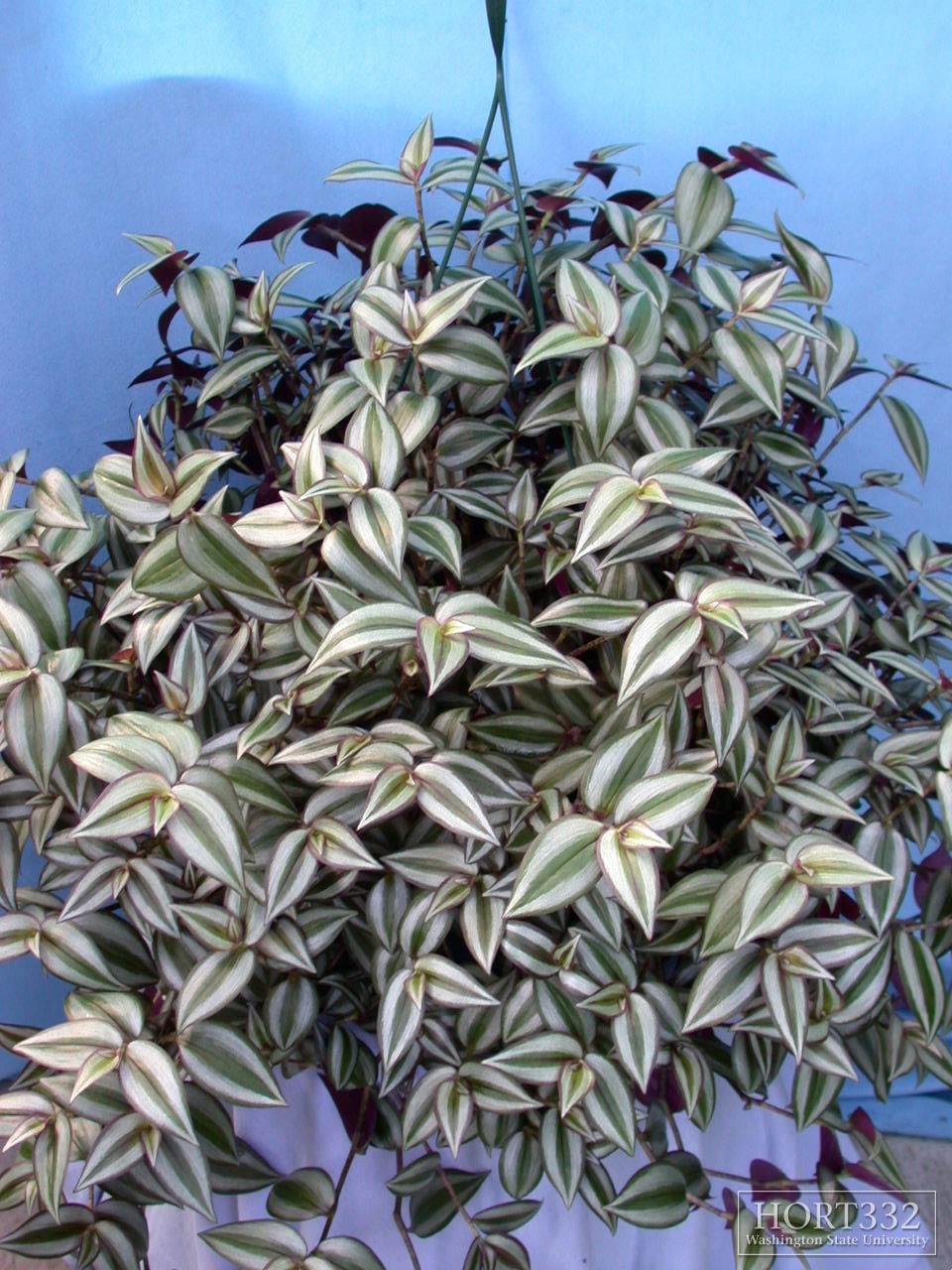 Цветок зебрина: фото и уход за растением в домашних ...
