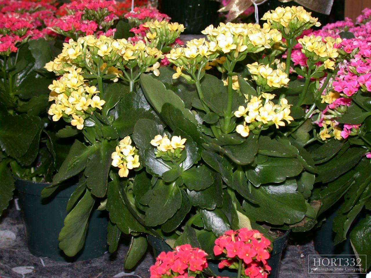 Комнатные цветы каланхоэ фото названия и уход за ними