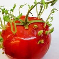 Sprouting tomato