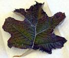 Leaf Sample