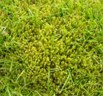 Moss in turfgrass