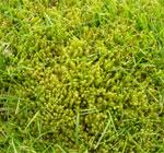 Moss in turfgrass