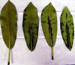 leaf baits sm