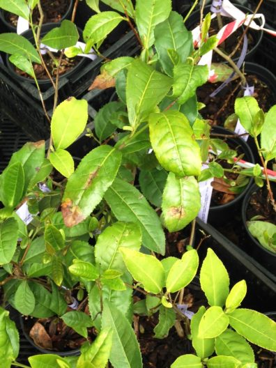 Symptomatic plants in pots