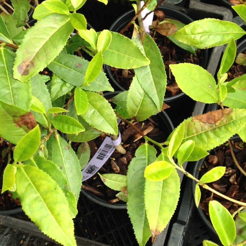 Symptomatic potted plants