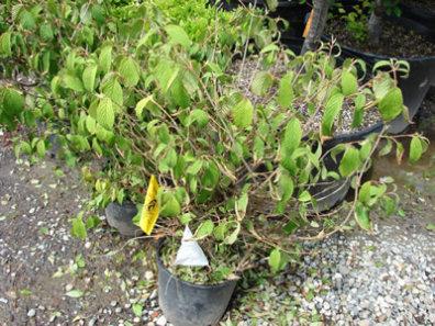High Risk Phytophthora Plants