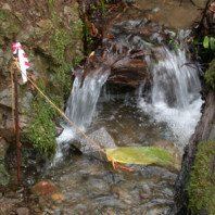 Stream baiting for Phytophthora