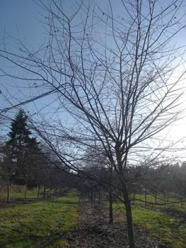elm tree in winter