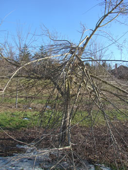 Elm tree with broken branches from ice damage