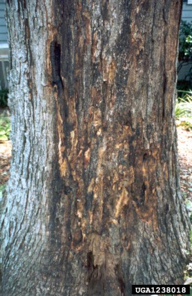 Wetwood on white oak