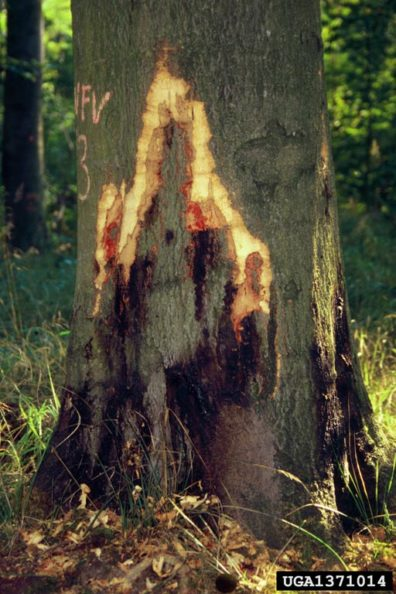 Bleeding cankers on Fagus sylvatica, caused by P. cambivora, with bark removed to show canker margin. (Photo: Andrej Kunca, National Forest Centre - Slovakia, Bugwood.org)