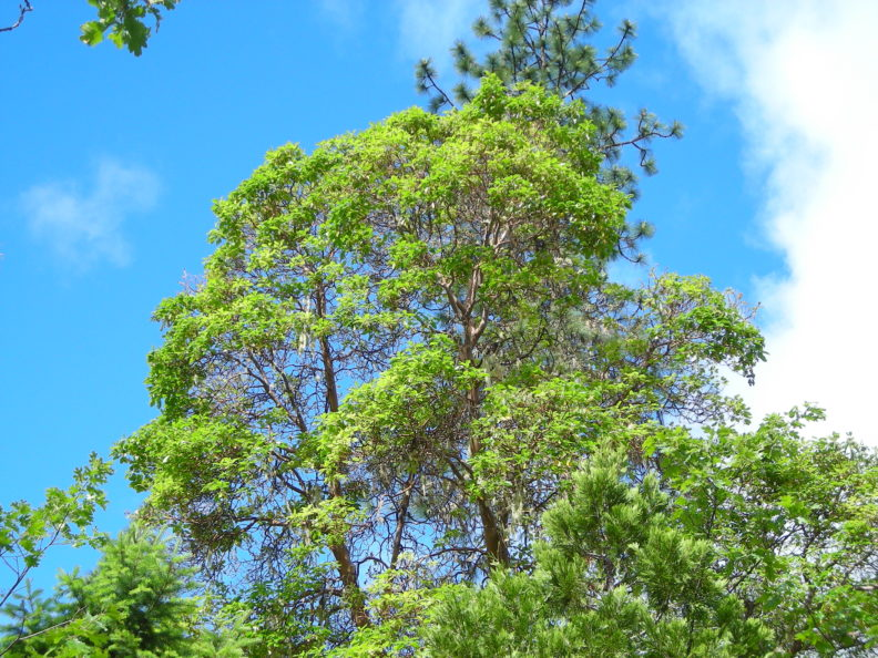 Pacific madrone canopy with healthy green foliage