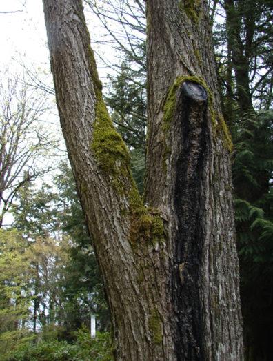 Wetwood on American elm
