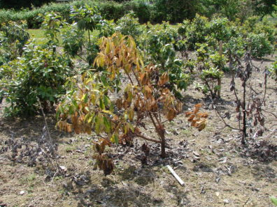 Root disease symptoms consist of wilting, yellowing foliage.