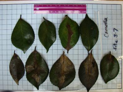 Camellia japonica leaf scoring