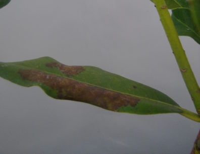 Foliar infection by P. ramorum on rhododendron