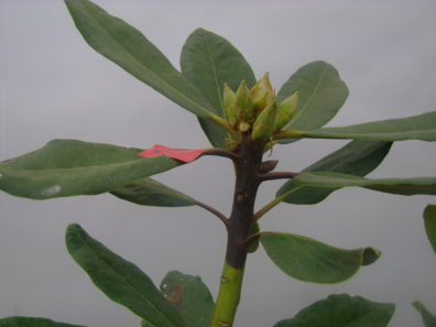 Rhododendron shoot blight caused by P. ramorum