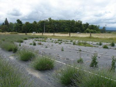 symptomatic field of lavender