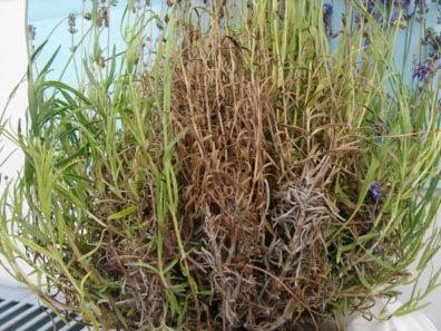Symptomatic lavender plant