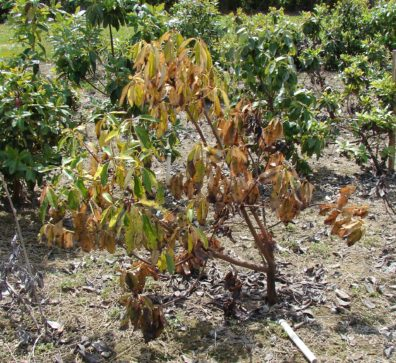 Wilting, yellowing foliage on a madrone with Phytophthora root disease