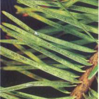 Christmas tree foliar symptoms