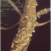 Fruiting bodies on Christmas tree stem canker