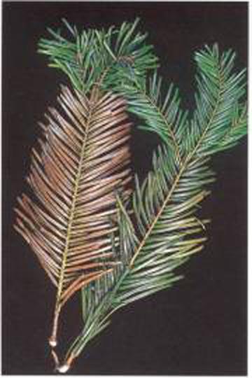 Christmas tree foliar symptoms