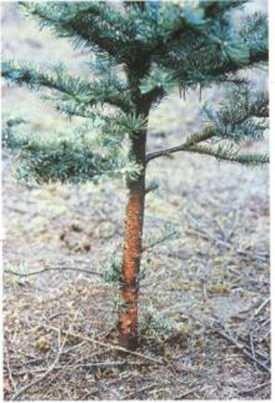 Christmas tree stem canker