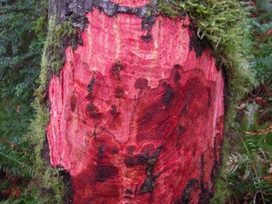Phytophthora ramorum lesions on tanoak