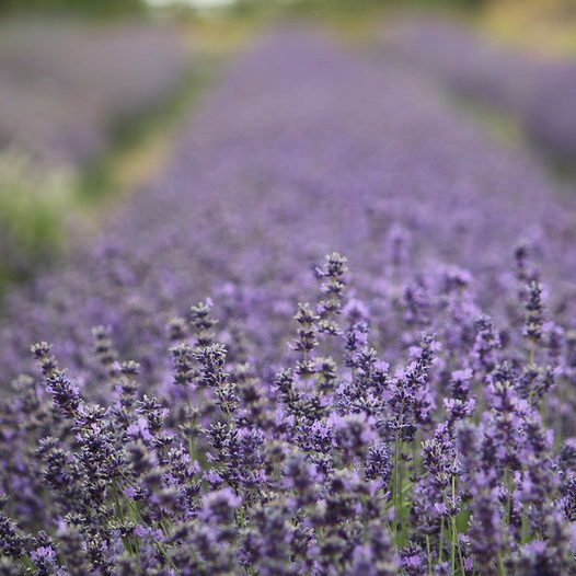 Lavender Field - Photo Credit: Andrew Wilkinson (CC BY-SA 2.0)