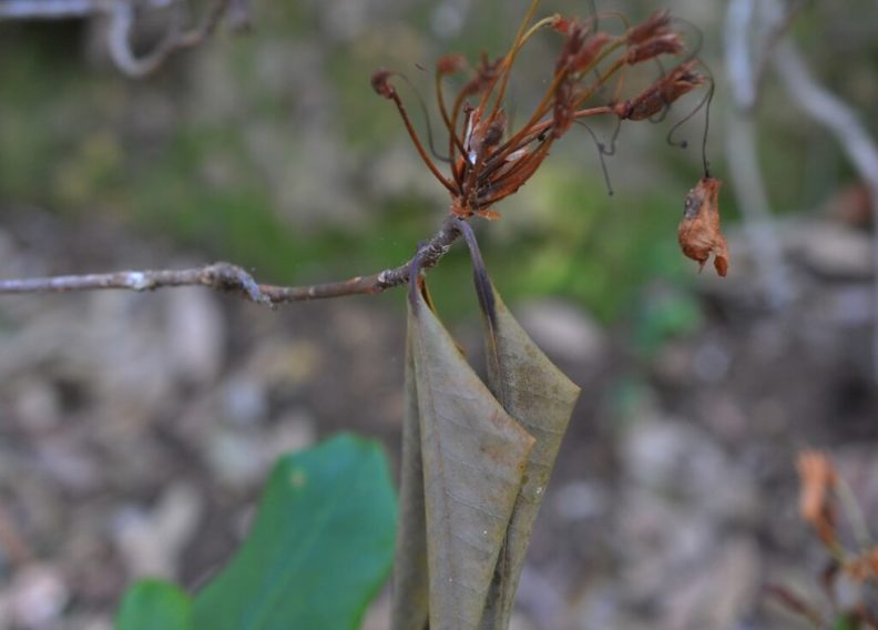 Dead Rhododendron shoot