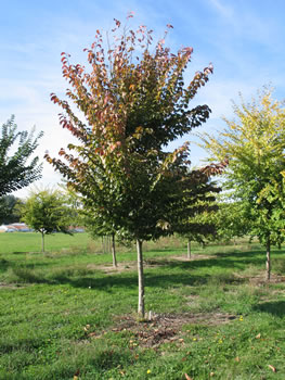 Puyallup National Elm Trial