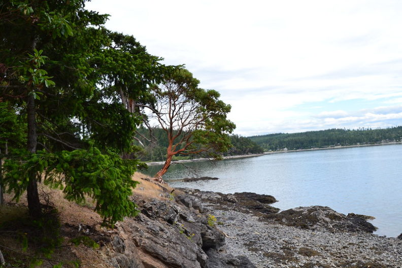 Pacific Madrone Tree in Puget Sound