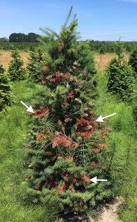 Christmas tree damaged by twig weevil
