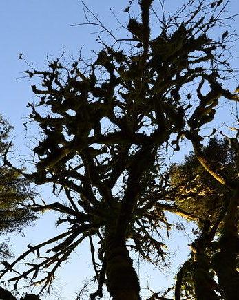 Bigleaf maple stand in fall