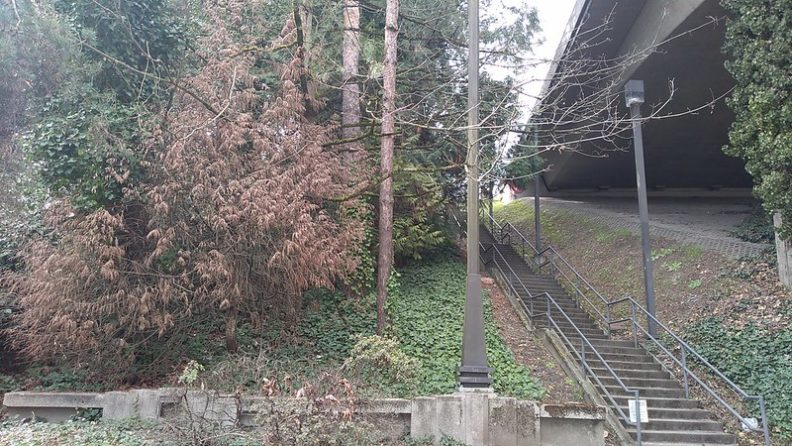 dead western redcedar near I90 in Seattle