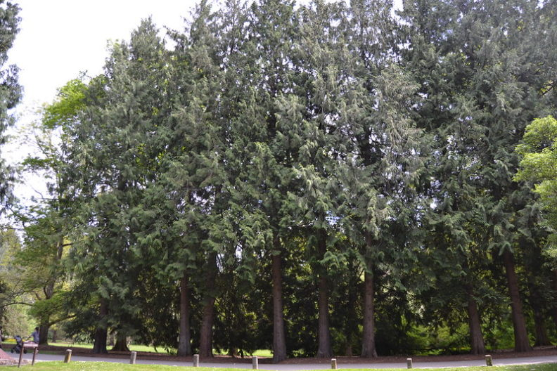 Western redcedar at the University of Washington Arboretum