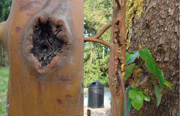 Madrone stem cankers