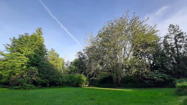 Declining bigleaf maple at Ravena park