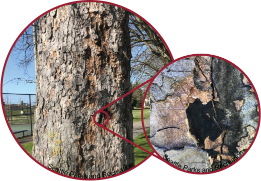 Sooty Bark Disease