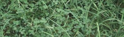 Organic Farming Systems clover cover crop
