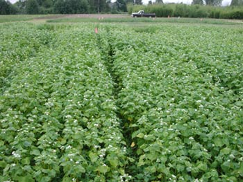 Photo of buckwheat as a short term summer cover crop.