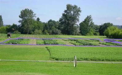 Organic Farming Systems photo of plots, one replicate outlined in purple.