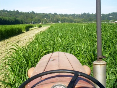 Photo of mowing down sudangrass, a summer cover crop.