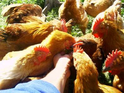 Photo of slow growing cornish cross chickens.