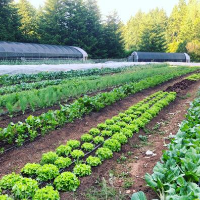 Rows of lettuces in farm field.